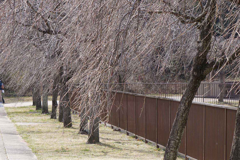平和公園しだれ桜