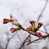 平和公園の「桜の園」の桜は、もう開花寸前
