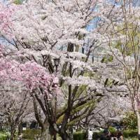 平和公園桜