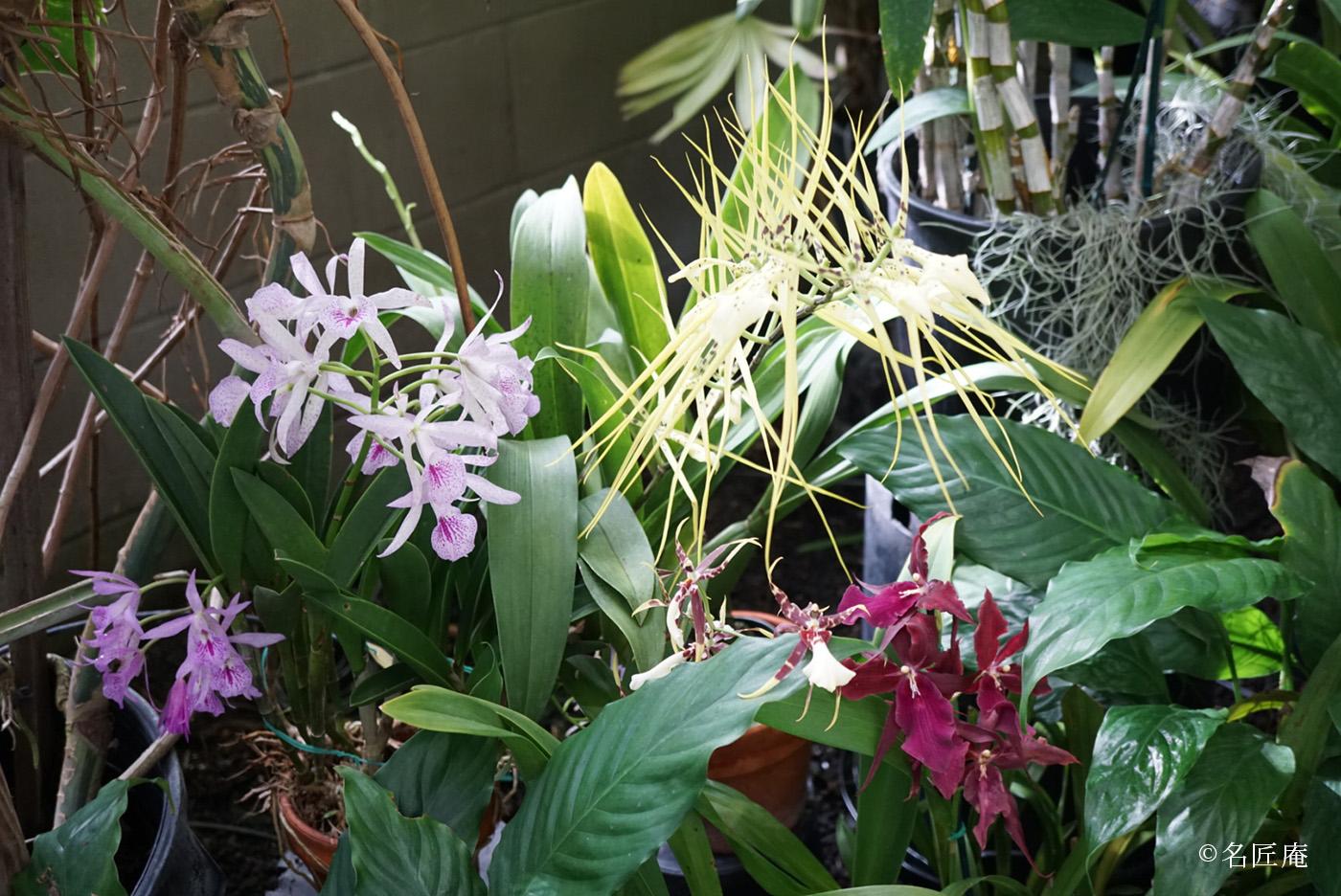 皆川月華とハワイの蘭