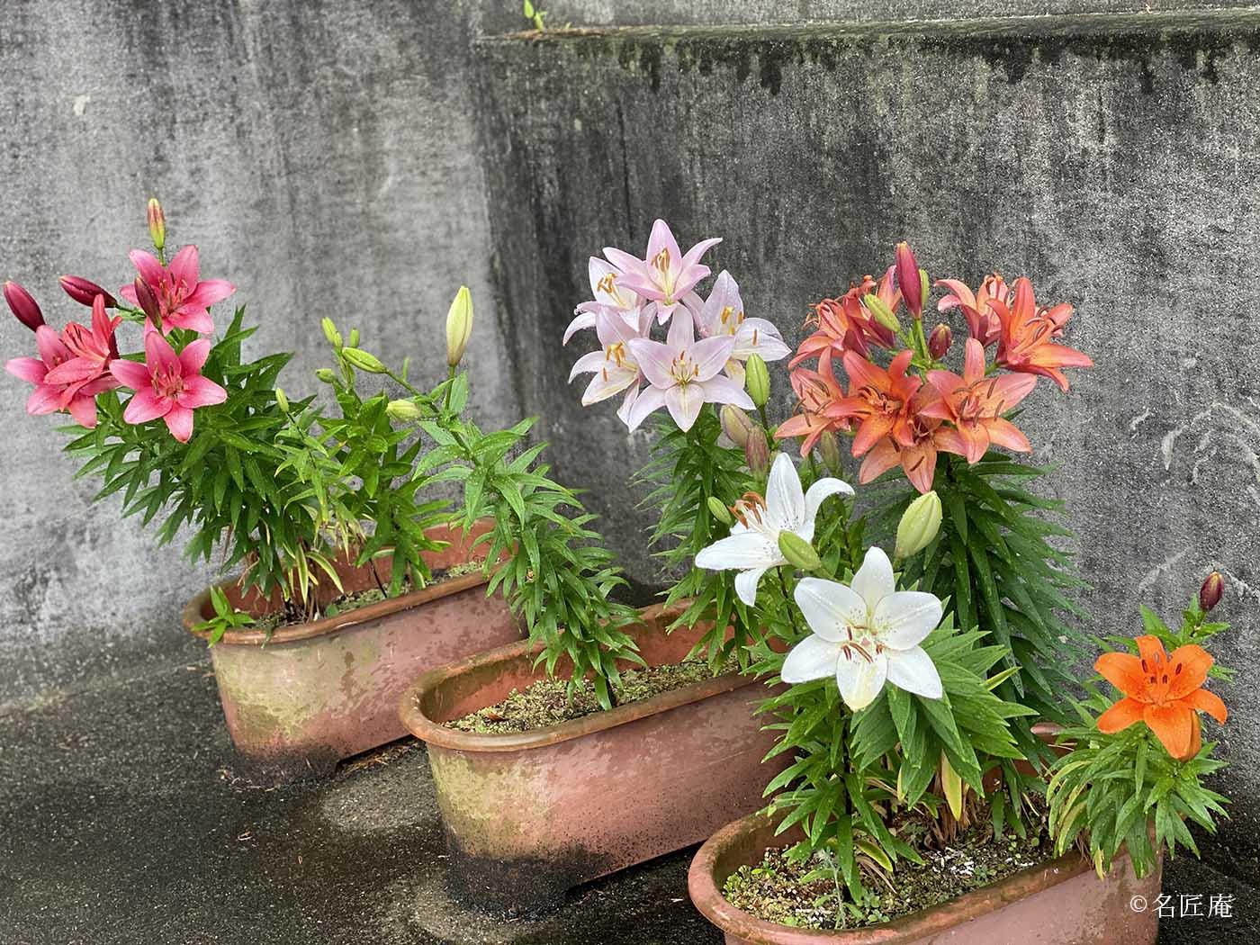 紫陽花とユリの花