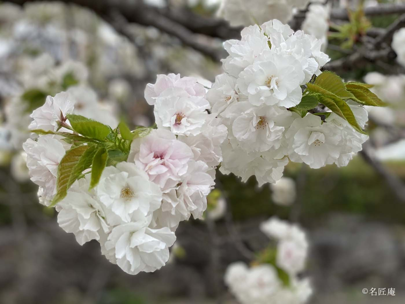 二条城正門「東大手門」沿いの 外堀川 桜